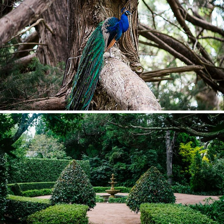 Join Richard the Peacock for a walk around Jaspers stunning grounds... #jaspersberryweddings #jaspers #jaspersberry #richardthepeacock #kingrichard #magicfarawaytree #garden #nature #weddings #weddingvenue