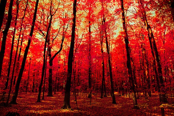 I think I would be really calm here. Maybe I need to get this print $21.00 on Etsy. I could have fall year-round: Autumn Photos, Natural Photography, Autumn Leaves, Fall Colors, Ruby Red, Red Leaves, Maple Leaves, Red Art, Autumn Photography