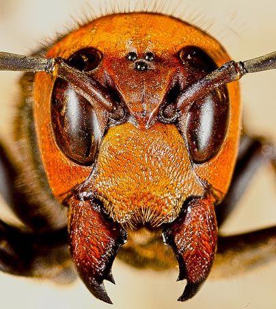 Cina 42 morti causate dalla vespa mandarinia
