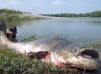 Рыбак из Италии Юри Грисенди поймал в реке По огромного сома, сообщает The Daily Mail. Мужчина ловил рыбу недалеко от города Мантуя (область Ломбардия). Вес улова составил 265 английских фунтов (около 120 килограммов).