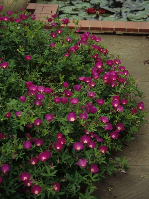 Winecup / Purple poppy-mallow [Callirhoe involucrata] - Evergreen/Semi-evergreen forb, 0-1 feet. Sun or Part Shade.  Prefers well-drained soil. Drought tolerant. Flowers attract bees and butterflies.  Spreading habit makes it good for ground cover, trailing over walls, or for hanging baskets.