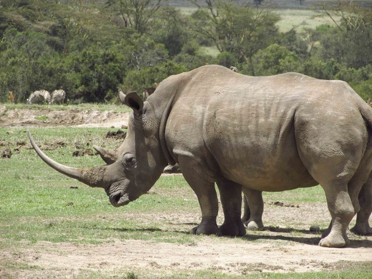 A stately white rhino in a private conservancy between Mount Kenya and the Aberdares. #Africa #Kenya #rhino #wildlife #travel