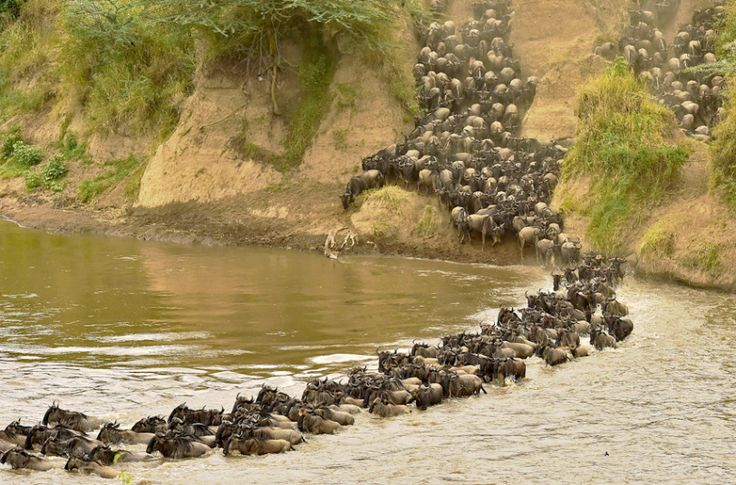 Great Migration 2015Herds of wildebeest cross a river in the Masai Mara. Every year hundreds of thousands of wildebeest make the crossing from the Serengeti to the Masai Mara game reserve to graze during the migration.by Carl De Souza