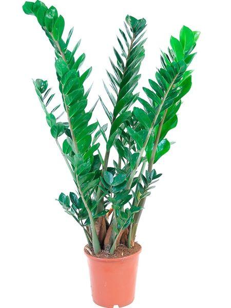 Die Glücksfeder macht alle Pflanzenfreunde glücklich, die wenig Zeit für ihre Zimmerpflanzen haben.
