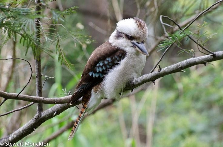 "The Kookaburra is such an Aussie icon. We like having them around as we get snakes here (but we are not anti-snake by any means) and they will spot one and kill it. They whip them and break a snake's back. Given the deadly nature of our snakes they are incredibly good at what they do and fast. They have the most amazing song and they are nicknamed the ""Laughing Jackass"" for their ""laughing"" call.  I remember hearing them in the Tarzan movies ad thinking ""uh, no. Australia, not Africa."""