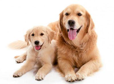 Cómo calcular la edad de un perro