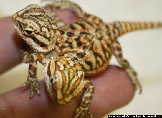 180 Best Images About Bearded Dragon On Pinterest