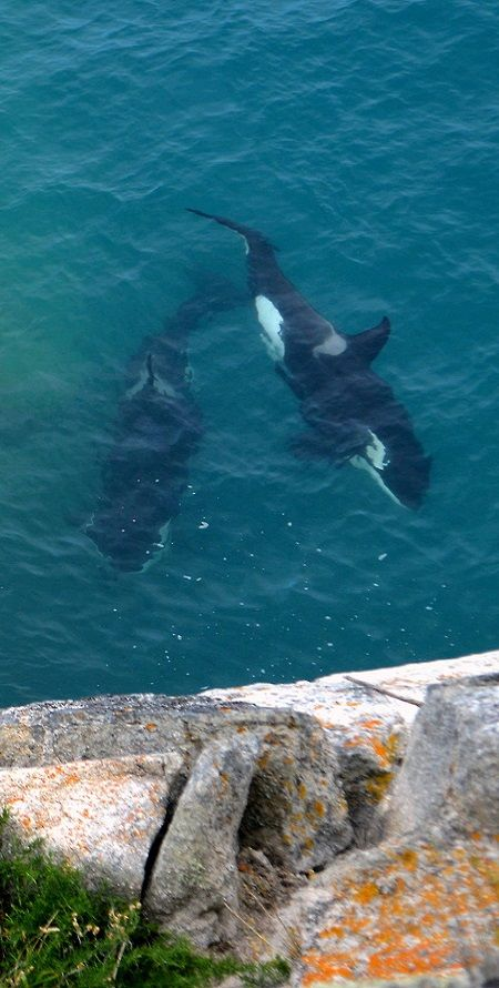 wild #Orcas, the Abel Tasman National Park in New Zealand. #nz killer #whale