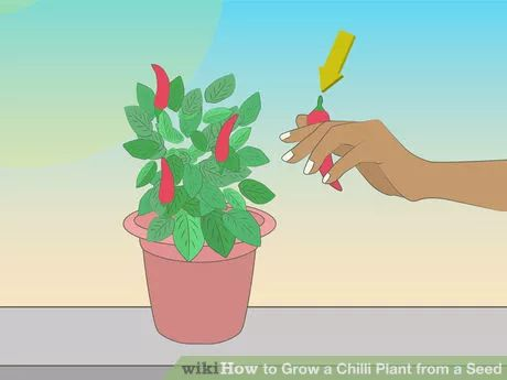 Image titled Grow a Chilli Plant from a Seed Step 16