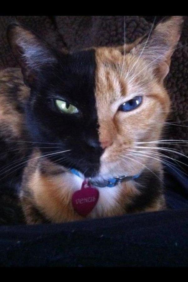 Venus, The Amazing Chimera Cat: Cat Chimera, Awesome Animal, Beautiful Cat, Cool Cat, Two Faces, Fraternity Twin, Chimera Cat, Cat Venus, Green Eye