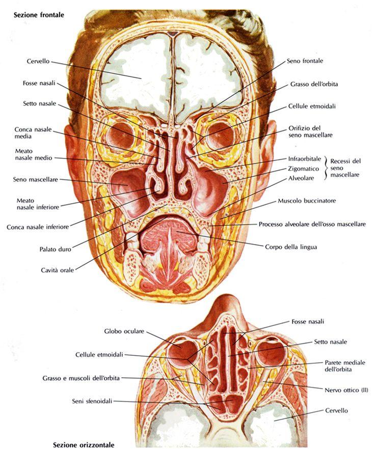 Cavità nasali in proiezioni anteriore e superiore