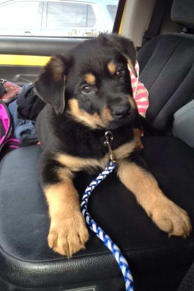 Hercules- German Shepard Rottweiler mix