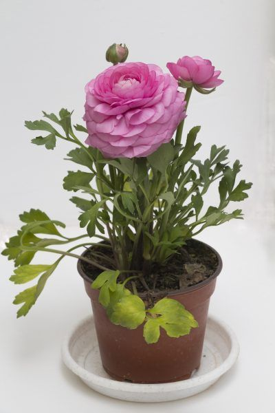 Can Peonies Grow In Pots: How To Grow Peony In A Container -  Peonies are blowsy old-fashioned favorites. Container grown peonies are excellent for the patio but they require a little more care than in ground plants. Choose a big container and come with us to learn how to grow peony in a container.