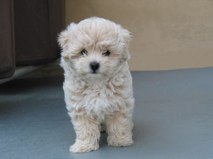 maltese poodle so cute!