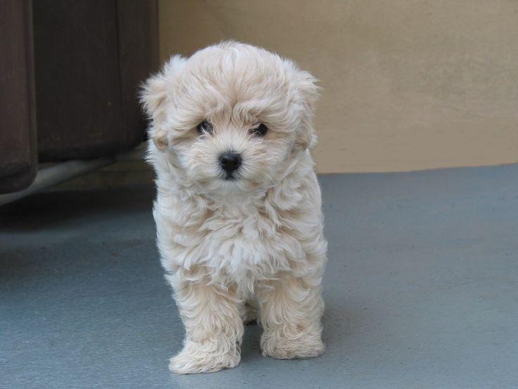 maltese poodle so cute!