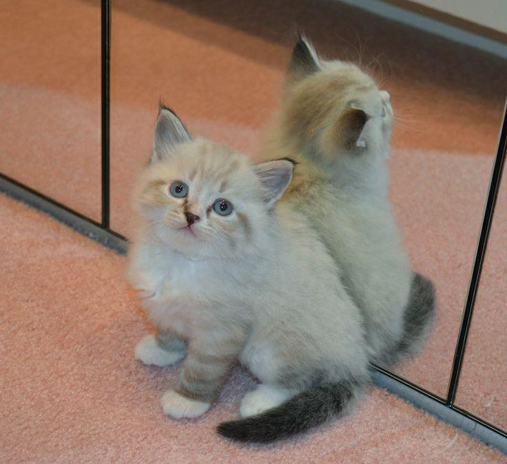 Teona's Seal Lynx Point and White kitten Nikki's
