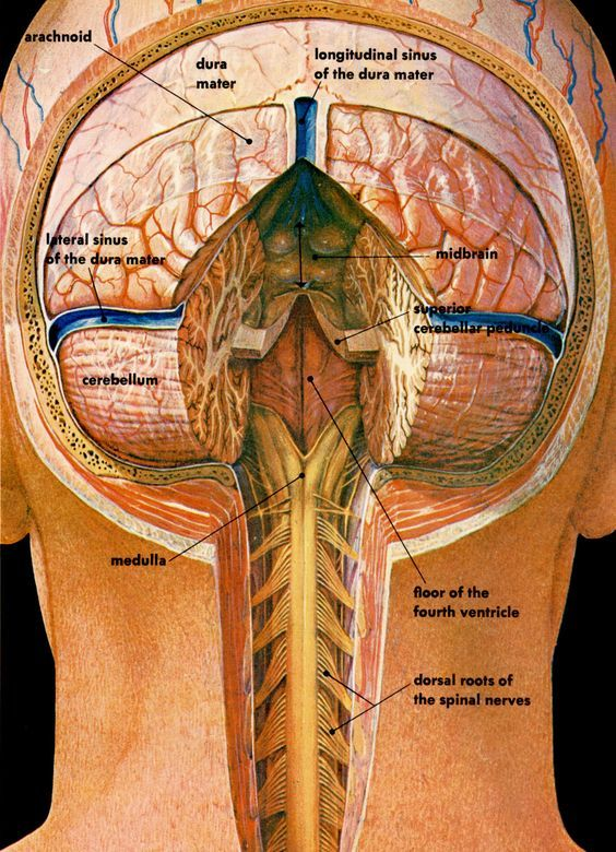 Cross section illustration of the posterior brain