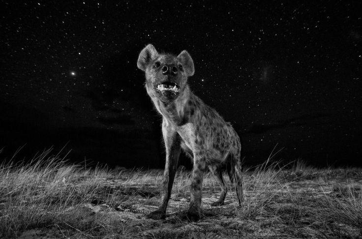 """Hyäne in der nächtlichen afrikanischen Savanne. Der Fotograf wollte nachtaktive Tiere in ihrem natürlichen Element zeigen.    Erster Platz im Wettbewerb """"Natur"""", Fotograf: Will Burrard-Lucas, England."""