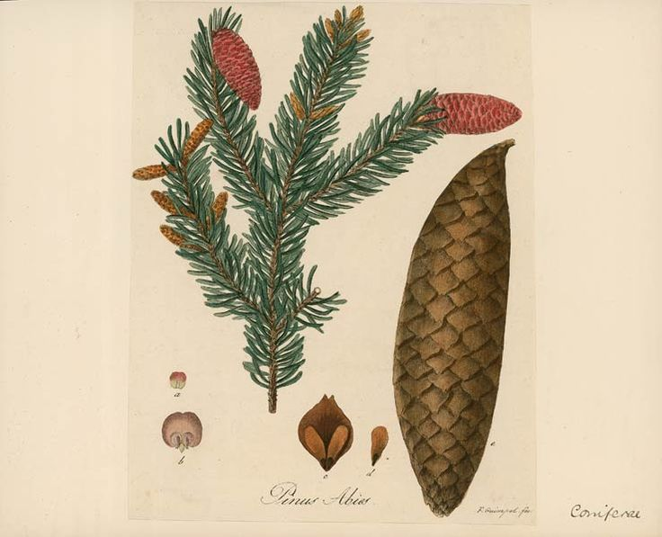 Norway spruce. Latin name 'Picea abies' (labelled 'Pinus abies' on this print).         Accession number 1990.11.3207, National Museums Liverpool, England.
