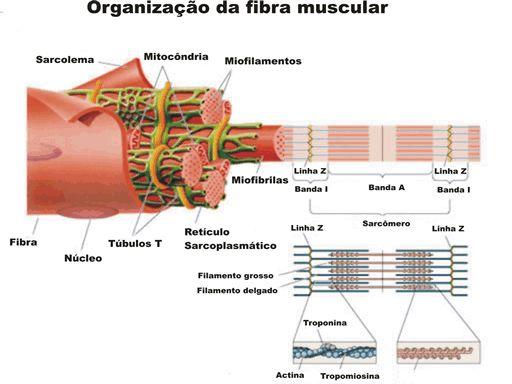 contração muscular - Só Biologia