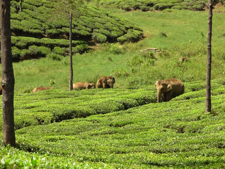Wild elephants at Valparai, Tamil Nadu