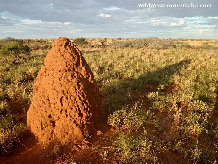 You know you're getting close to Coral Bay when you start seeing the termite mounds! Click on the image for an article about getting to Coral Bay from Perth. #WesternAustralia