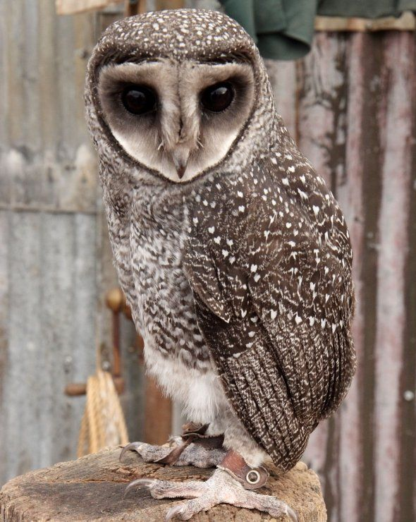 (Tyto tenebricosa) The Sooty Owl can be distinguished by its high pitched shriek. It hunts large prey at night and its diet includes ringtail possums and sugar gliders. You won't see the Sooty owl out during the day, it loves to hide in hollow trees and dense foliage.    The Sooty Owl is found mostly along the south-eastern coast of Australia.