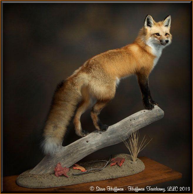 Red Fox Taxidermy Mount Habitat