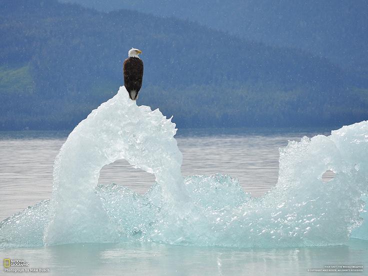 Fotografia di Mike Busch     Ho scattato questa foto durante una gita nelle vicinaze di St. Petersburg, in Alaska. L'aquila era appollaiata immobile su un iceberg dalla forma di cigno. Era una giornata di debole pioggia ma tranquilla e l'aquila sembrava pacificata.