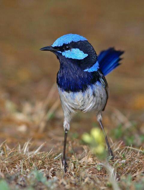 Australian bird.