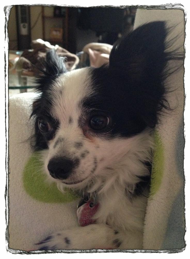 Cookie love chihuahua boston terrier terrier