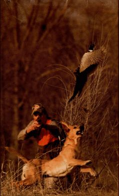 Cool pheasant hunting picture