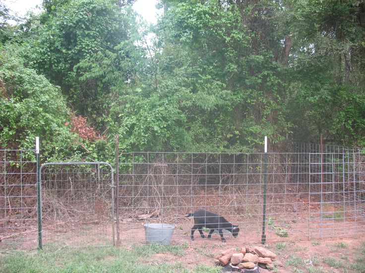 Use Goats To Clear Your Land Gypsy Hill Nigerian Dwarf