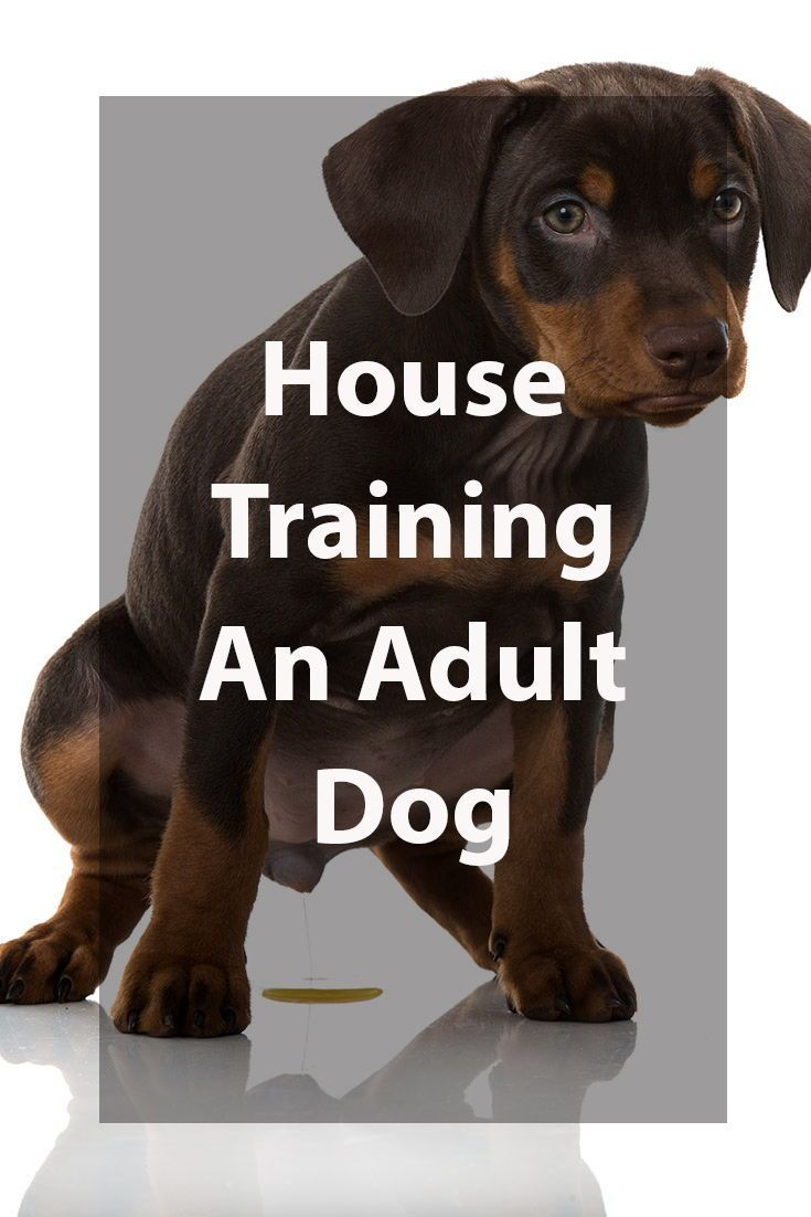 House Training An Adult Dog Dogs Dog Training Paper Train