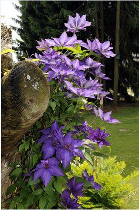 Slyngplanter - Smukke slyngplanter! Køb slyngplanter til haven.