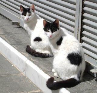 Σαντορινιές. Μία από τις πιο όμορφες εικόνες στα νησιά του Αιγαίου είναι οι γάτες που περιφέρονται νωχελικά ανάμεσα στους άσπρους θόλους (έτ...