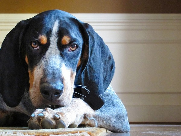 I love #coonhounds!