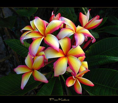 Hawaiian Flowers - The Plumeria Puu Kahea by mad plumerian, via Flickr