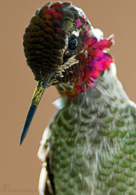 Male Hummingbird°°