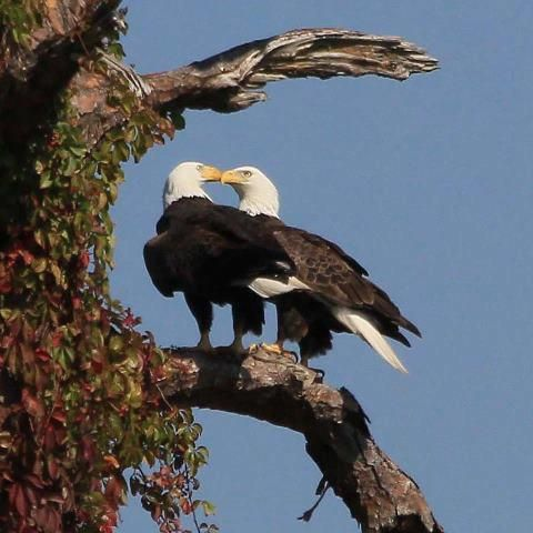You will fall in love with these two bald eagles caring for their eggs, live on Eaglecam!