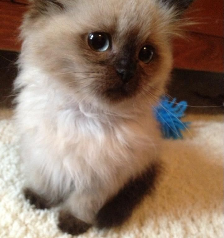 This little guy is called a ragdoll. They're hypoallergenic and don't shed. Too cute. Want.