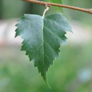 Beautiful leaf from a slender Silver Birch tree. A lovely gift to send to celebrate a Silver Wedding Anniversary. From £24.50