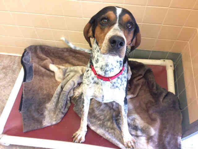English Coonhound dog for Adoption in Santa Fe, NM. ADN-673376 on PuppyFinder.com Gender: Female. Age: Adult