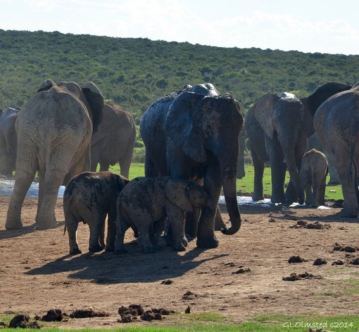 With elephants, all ages play in the water, Addo Elephant National Park, South Africa. http://geogypsytraveler.com/2014/07/18/foto-friday-fun-68/