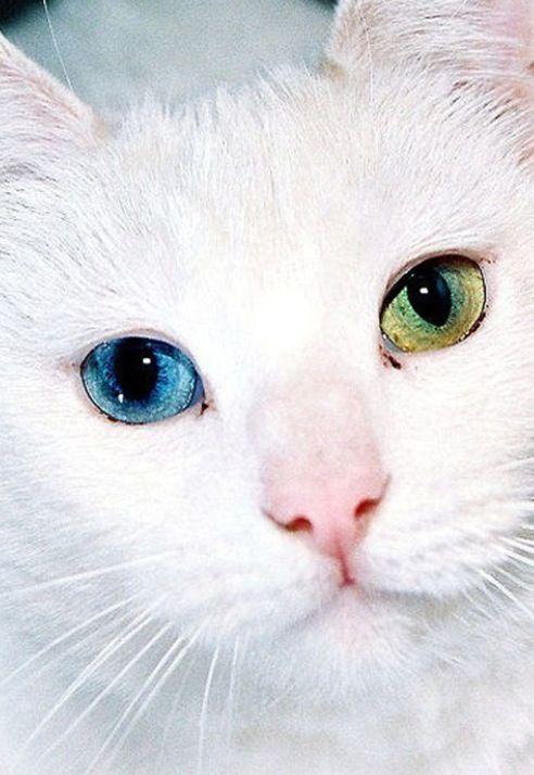 Cat with beautiful eyes: Cats, Beautiful Cat, Animals, Color, Pet, Beautiful Eyes, Kitty, Green Eye, White Cat