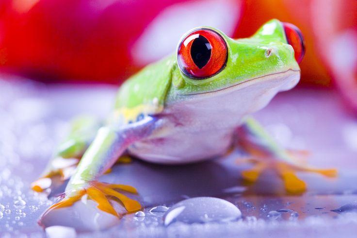 High Resolution Wallpapers tree frog pic, 369 kB - Gray Robertson