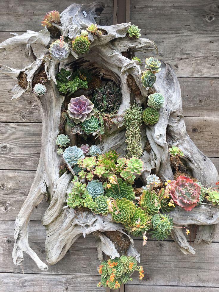 Pflanzgefäß aus Treibholz und Sukkulenten von Ca…