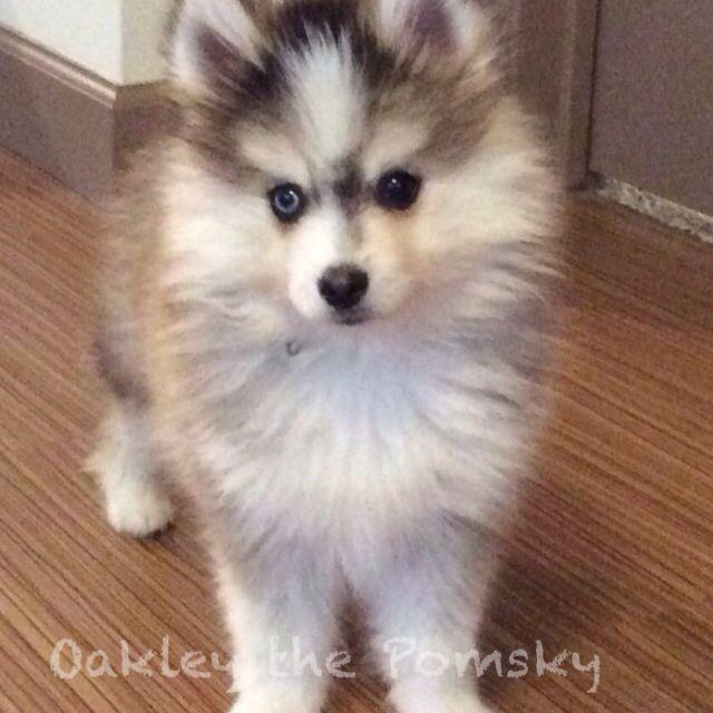 1000 images about oakley the pomsky on pinterest oakley