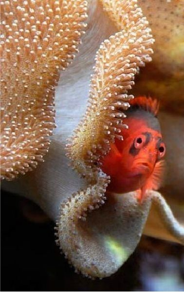 Adorable little fish peeking out from a shell. the coloring around the eyes makes it look sad.