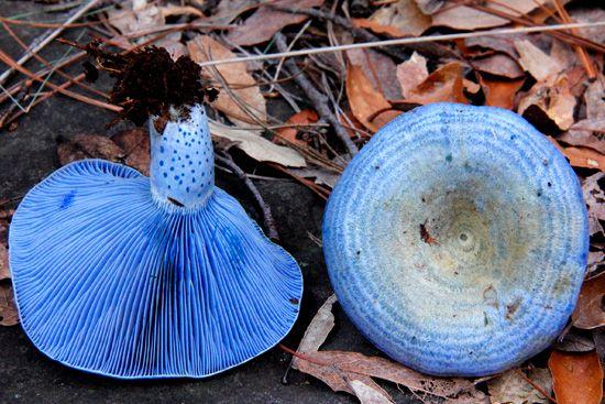 Hongo azul, originario de Mexico, se le puede encontrar en los Estados de Mexico, Michoacan y Tlaxcala. ademas de que realmente es de color Azul.